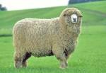NZ Halfbred